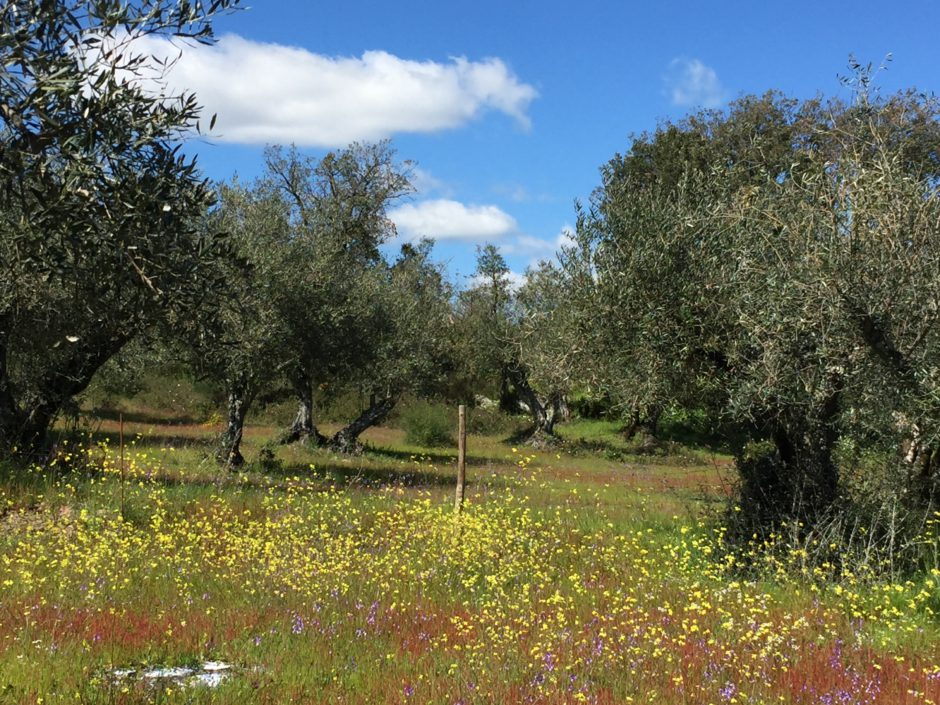 The one hectare olive grove of Quinta os Chões